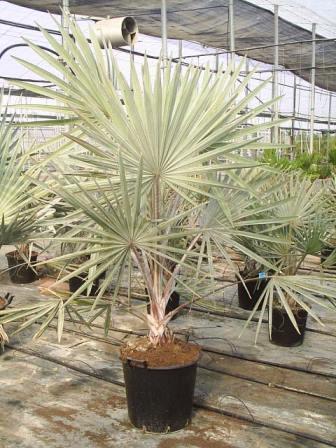 Palmera Bismarkia nobilis