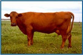 Red Danish Milk Breed