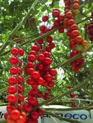 Hybleo Cherry Tomato