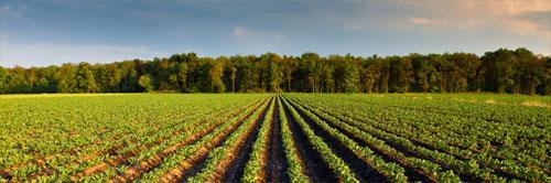 pommes de terre pour l'industrie
