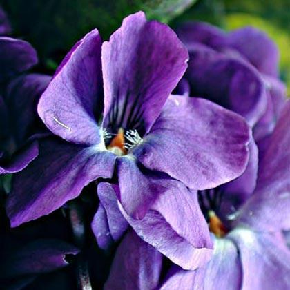 Esencias y aromas para la perfumería