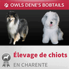 ELEVAGE DE BOBTAILS ET COLLEY OWLS DENE'S