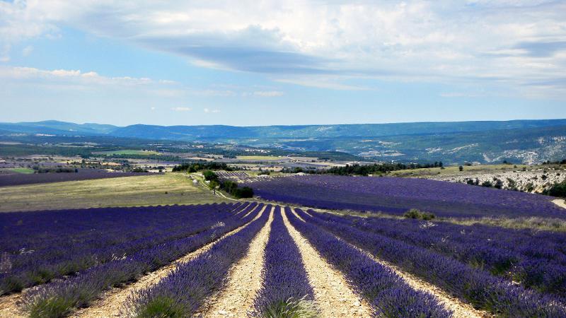 Lavender and lavandin flowers