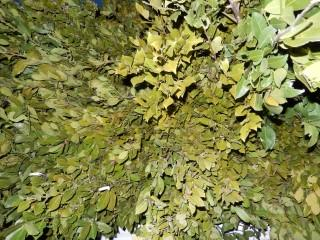 bay leaf pure essential oils