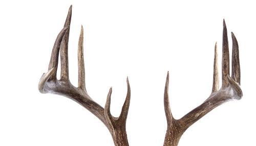 antlers cornes