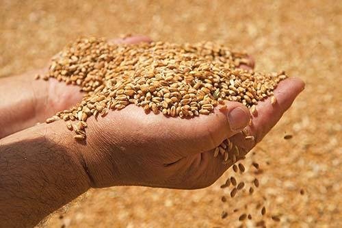 Grain from Russia wholesale