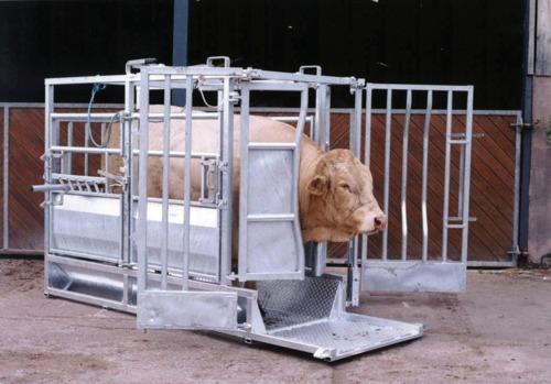 Champion Beefmaster Cattle Crush