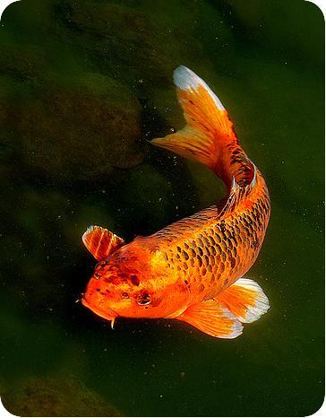 цветные карпы,рыбки для пруда,аквариум,пруд c рыбками,карпы
