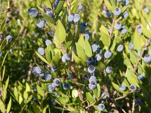 myrtle leaf pure essential oils